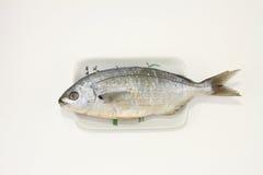 Salema Porgy ryba obrazy stock