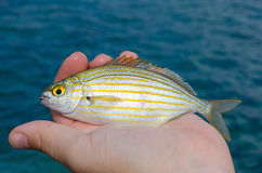 The Salema porgy Stock Photography