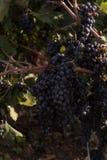 Salento葡萄,意大利,普利亚 免版税库存照片