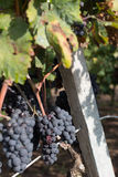 Salento葡萄,意大利,普利亚 库存图片