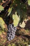 Salento葡萄,意大利,普利亚 库存照片