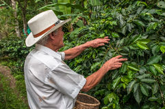 SALENTO, ZONA CAFETERIA, COLOMBIA - November, 28: Old farmer harvesting coffee beans on November, 28, 2009 in stock photos