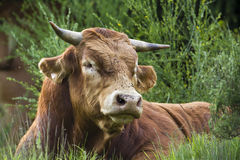 A saler cow is resting in the grass, Vosges, France Royalty Free Stock Photo