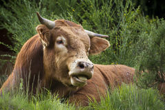 A saler cow is resting in the grass, Vosges, France Royalty Free Stock Photography