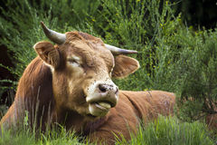 A saler cow is ruminating in the grass, Vosges, France Stock Photography