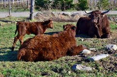 Salers catle. Family of the Salers is a breed of cattle which originated in Cantal in the Massif Central of France Royalty Free Stock Image
