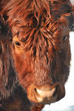 Salers cattle Royalty Free Stock Photography