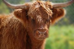 Salers cattle Royalty Free Stock Image