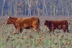 Salers cattle herd. On a meadow in fall Stock Photos