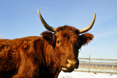 Salers cow. The Salers is a breed of cattle which originated in Cantal in the Massif Central of France Stock Photography