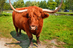 Salers cow Stock Image