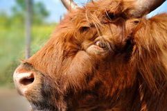 Salers cow. Salers is a breed of cattle which originated in Cantal in the Massif Central of France Stock Photography