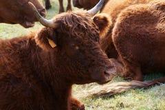 Salers cow Stock Photos