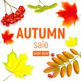 Sales banner with maple autumn leaves and rowan branches with ashberry . Autumn maple leaf and rowan branches with. Sales banner with maple autumn leaves and Stock Photo