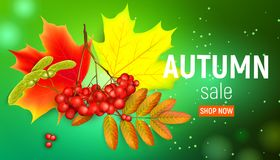Sales banner with maple autumn leaves and rowan branches with ashberry on a green background. Autumn maple leaf and. Red rowan branches with ashberry on a green Stock Photo