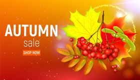 Sales banner with maple autumn leaves and rowan branches with ashberry on a orange background. Autumn maple leaf and. Red rowan branches with ashberry on a Stock Photo