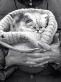 Saleswoman of kittens Stock Image