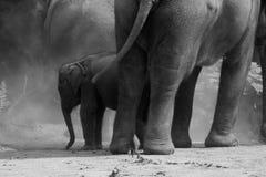 Saleté de lancement d'éléphant de bébé photos libres de droits