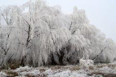 Salgueiro congelado Foto de Stock Royalty Free