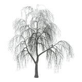 salgueiro da ilustração 3D no branco Imagens de Stock