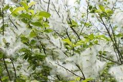 Salgueiro de florescência Fotografia de Stock