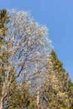 Salgueiro de florescência na primavera Fotos de Stock