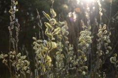Salgueiro de florescência no sol no alvorecer na mola imagens de stock