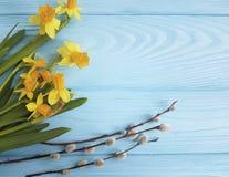 Salgueiro do narciso amarelo no felicitações frescas de madeira azuis imagem de stock royalty free