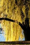Salgueiro dourado Imagem de Stock Royalty Free