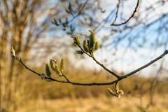 Salgueiro na primavera Imagem de Stock