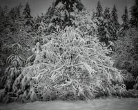Salgueiro nevado Imagens de Stock Royalty Free