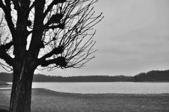 Salgueiro preto & branco Imagens de Stock Royalty Free