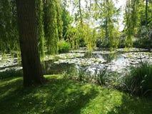 Salgueiros de Waterlilies e de limpeza fotos de stock royalty free
