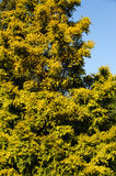 The Salicaceae tree. On a spring sunny day willow family plant royalty free stock image