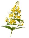 Salicaire jaune de jardin Image libre de droits