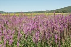 Salicaria comune di fioritura fotografie stock