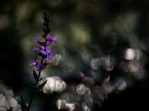 Salicaria comune su un fondo scuro fotografia stock