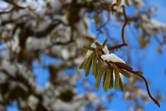 Salice con neve nell'inverno fotografie stock libere da diritti