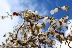 Salice con neve nell'inverno immagine stock libera da diritti