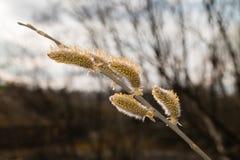 Salice dell'albero nelle fioriture della foresta di primavera Immagini Stock