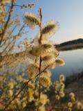 Salice della palma al sole fotografie stock