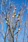 Salice della primavera Immagini Stock