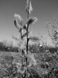Salice della primavera Immagine Stock