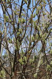 Salice della primavera Fotografia Stock