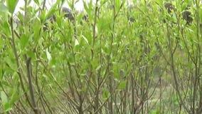 Salice di Bush Salix Panorama dei rami con le foglie stock footage