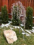 Salice di fioritura Fotografie Stock Libere da Diritti