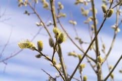 Salice di fioritura contro il cielo blu Immagini Stock Libere da Diritti