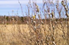 Salice di fioritura contro il cielo blu Fotografia Stock Libera da Diritti
