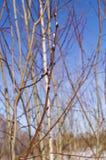 Salice di fioritura contro il cielo blu Fotografie Stock Libere da Diritti
