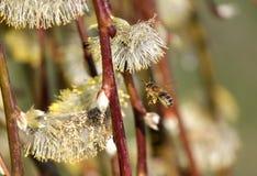 Salice ed ape mellifica di fioritura immagini stock libere da diritti